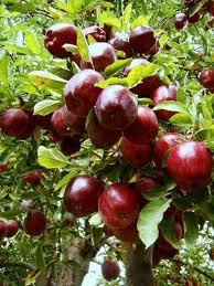 نهال سیب قرمز