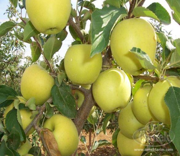 سیب زرد فرانسه