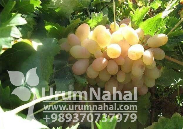 نهال انگور قزل