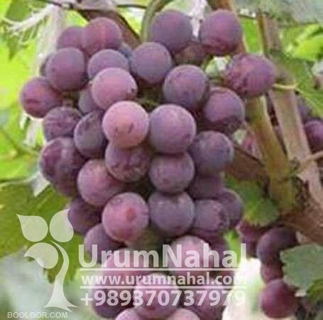 فروش انگور